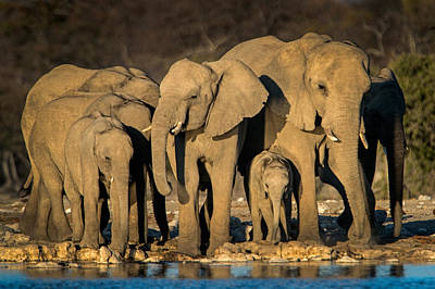 African Elephant Photograph - African Elephants Loxodonta Africana by Panoramic Images