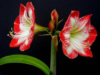 Photograph - Amaryllis by Ron Davidson