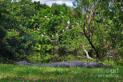Photograph - 10- American Alligator by Joseph Keane