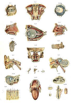 Photograph - Anatomie Du Corps Humain, Laskowski by Science Source
