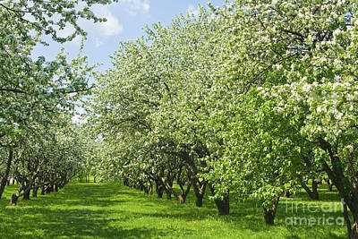 Photograph - Apple Garden In Blossom by Irina Afonskaya