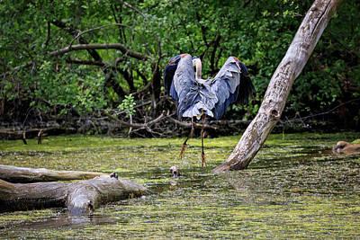 Photograph - Blue Heron by Peter Lakomy