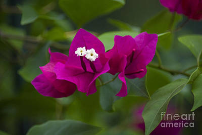 Photograph - 10- Bougainvillea by Joseph Keane