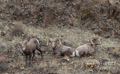 River Photograph - California Big Horn Sheep by Gary Wing