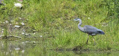 Photograph - Great Blue Heron by Josef Pittner