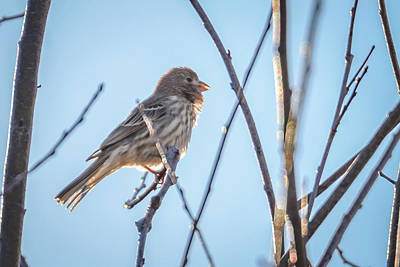 Beastie Boys - House Finch Tiny Bird Perched On A Tree by Alex Grichenko
