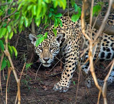 Jaguar Panthera Onca, Pantanal Print by Panoramic Images