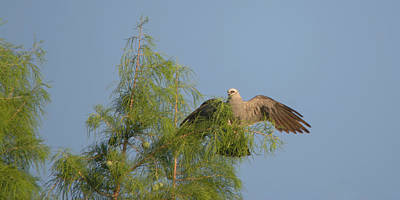 Mississippi Kite Treetop Landing Art Print by Roy Williams