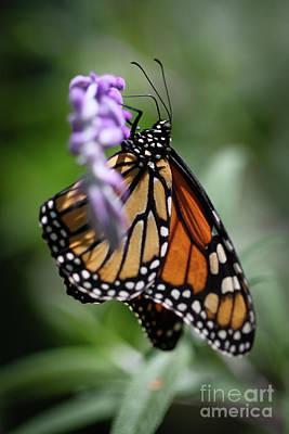 Photograph - Monarch Danaus Plexippus by Henrik Lehnerer