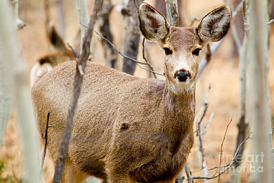 Steve Krull Royalty-Free and Rights-Managed Images - Mule Deer in the Pike National Forest by Steve Krull