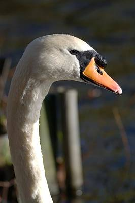Superhero Ice Pop Rights Managed Images - Mute Swan Royalty-Free Image by Chris Day