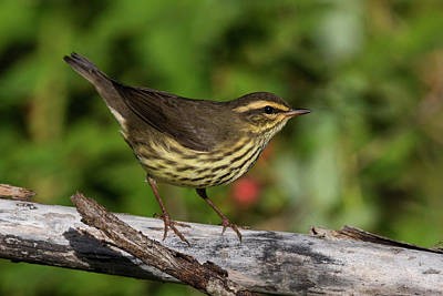 Photograph - Northern Waterthrush by Doug Lloyd
