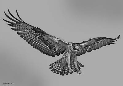 Osprey Digital Art - Osprey Flight by Larry Linton