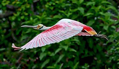 Roseate Spoonbill In Flight Art Print by Lindy Pollard
