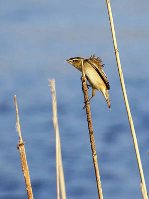 Photograph - Sedge Warbler by Jouko Lehto