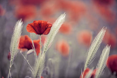 Blooming Photograph - Summer Poppy Meadow by Nailia Schwarz