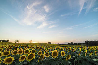 Photograph - Sunflower Sunset by Ryan Heffron