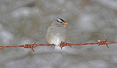 Grey Photograph - White-crowned Sparrow by Gary Wing