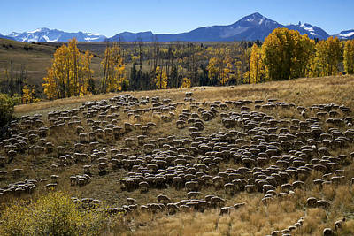 Photograph - 1000 Sheep Above Telluride Colorado by Mary Lee Dereske