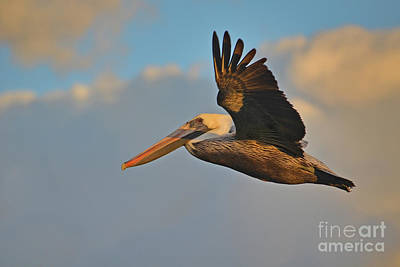Photograph - 101- Brown Pelican Cruising In Paradise by Joseph Keane