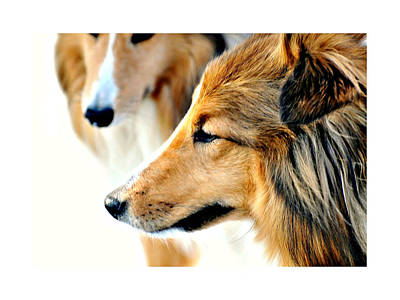 Miniature Collie Photograph - The Collie by Diana Angstadt