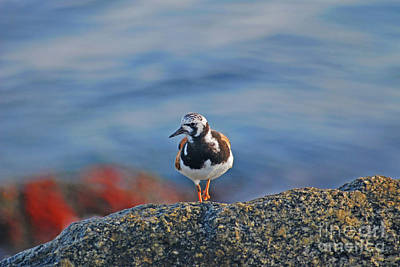 Photograph - 102- Ruddy Turnstone by Joseph Keane