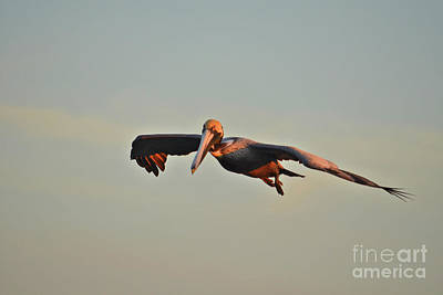 Photograph - 103- Brown Pelican Cleared For Landing by Joseph Keane