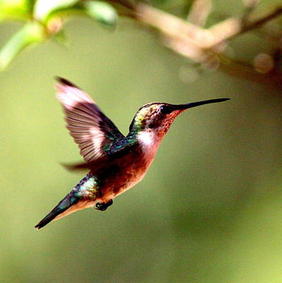 103456 - Ruby-throated Hummingbird Art Print