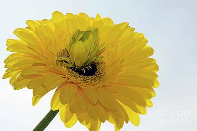 Photograph - Yellow Gerber by Elvira Ladocki