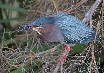 Photograph - 105- Green Heron by Joseph Keane