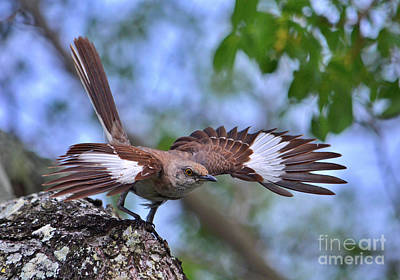 Photograph - 106- Mockingbird by Joseph Keane