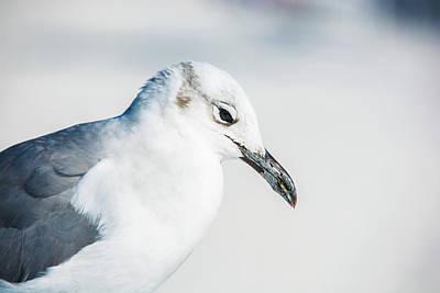 Photograph - 10867 Black Billed Gull by Pamela Williams