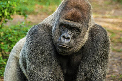 Photograph - 10898 Gorilla by Pamela Williams