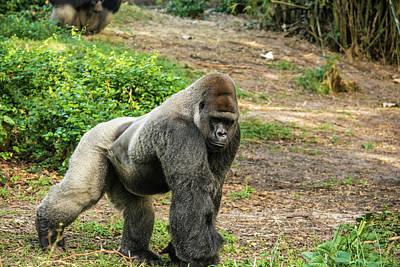 Photograph - 10899 Gorilla by Pamela Williams