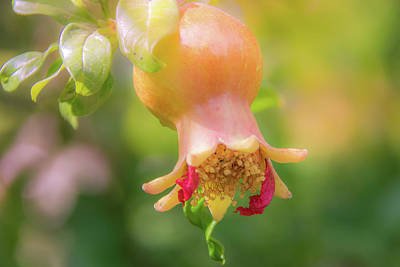 Photograph - 10914 Pomegranate by Pamela Williams