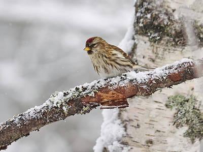Photograph - Common Redpoll by Jouko Lehto