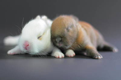 Baby Animal Photograph - 11 Day Old Bunnies by Copyright Crezalyn Nerona Uratsuji