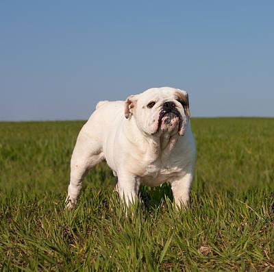 Looking At Camera Mixed Media - English Bulldog by Boyan Dimitrov