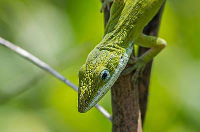 Green Lizard Art Print