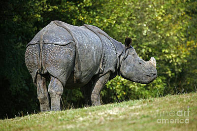 Indian Rhinoceros Rhinoceros Unicornis Art Print by Gerard Lacz