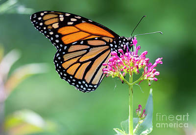 Photograph - Monarch Butterfly by Pietro Ebner