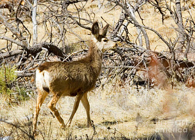 Steven Krull Royalty-Free and Rights-Managed Images - Mule Deer in the Pike National Forest by Steven Krull
