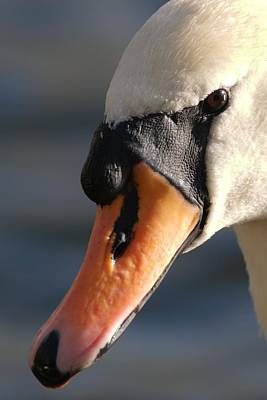 Photograph - Mute Swan by Chris Day