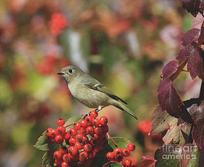 Berries Photograph - Ruby-crowned Kinglet by Gary Wing