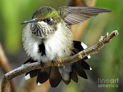 The Rolling Stones - Aggressive Young Ruby-throated Hummingbird  by Cindy Treger