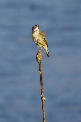Photograph - Sedge Warbler by Jouko Lehto