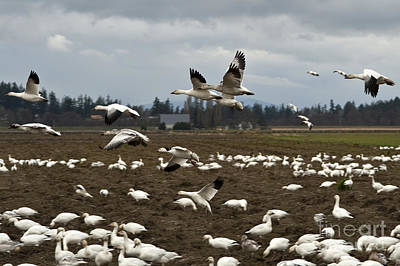 The Flight Of The Snow Geese Photograph - Snow Geese Migration  by Jim Corwin