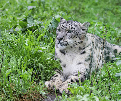 Royalty-Free and Rights-Managed Images - Snow Leopard by Martin Newman