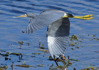 Photograph - Tricolored Heron by David Campione