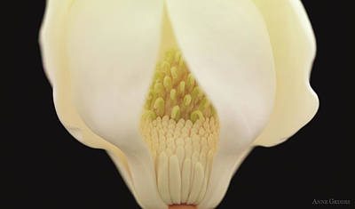 Floral Photograph - Magnolia by Anne Geddes